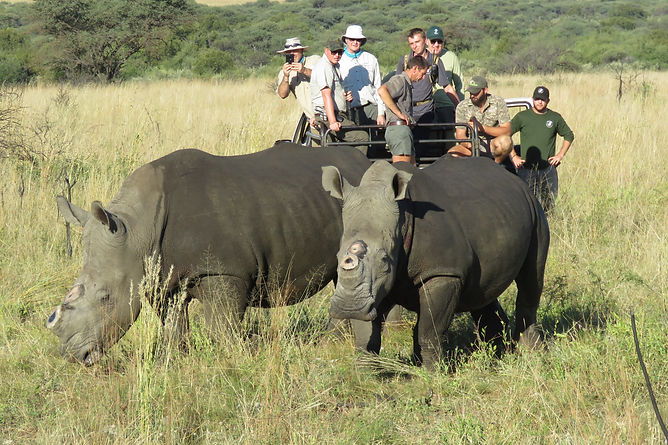 Tourist Observing Southern White Rhino's Waking Up After A Dehorning