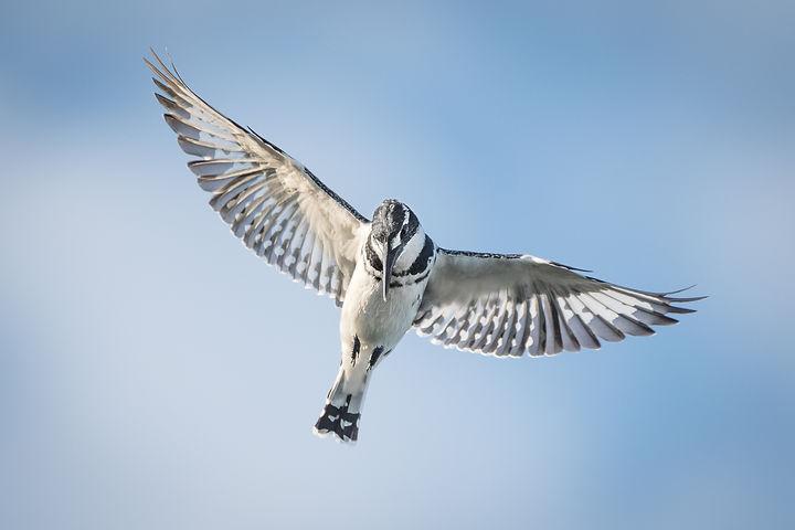 Pied-Kingfisher In Flight
