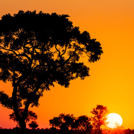 African Tree At Sunset