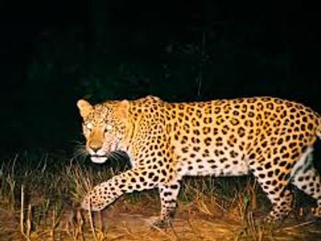 Camera Trap Footage Of Leopard