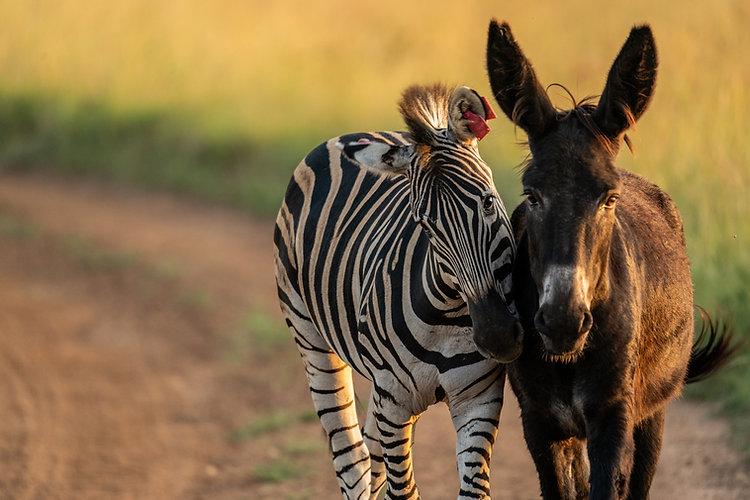 zebra and donkey.jpg
