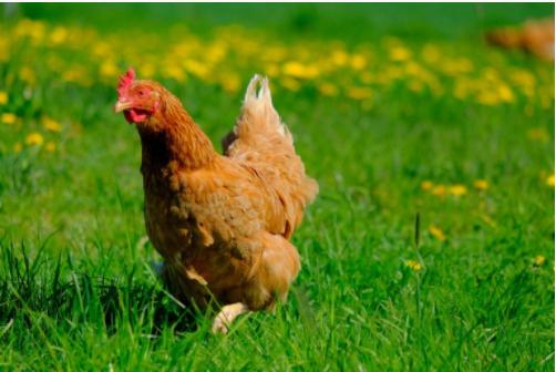 La loi Egalim a pour objectif de préserver le bien-être animal
