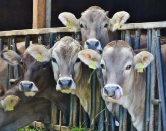 L'influence de notre culture alimentaire sur le bien-être animal