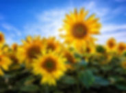 Sunflowers_FULL (1) (2).jpg