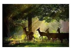 4 deer in the woods