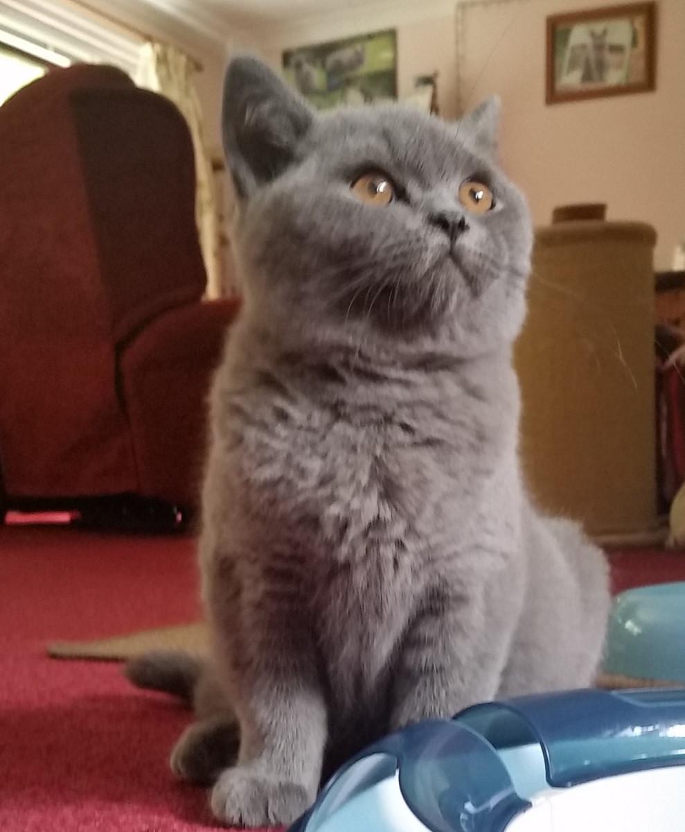 Pet sitting kitten with amber eyes