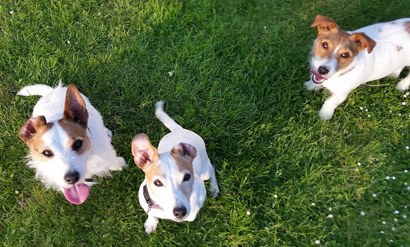 A trio of cheeky terriers
