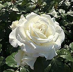 Rose_Ihrer_Majestät_edited.jpg