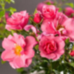 Medley Pink.jpg