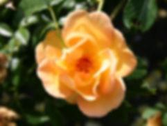 Rosa spinsissima 'Maigold'.jpg