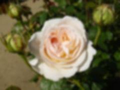 Lions Rose.jpg
