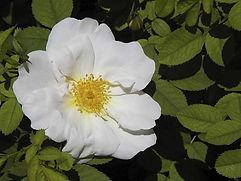 rosa-moyesii 'Nevada'.jpg