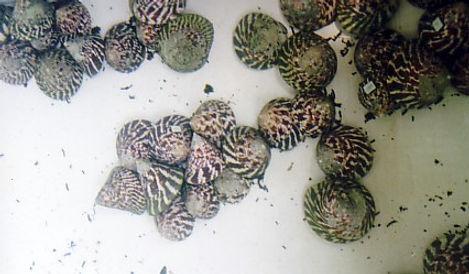 trochus nioloticus sulawesi.jpg