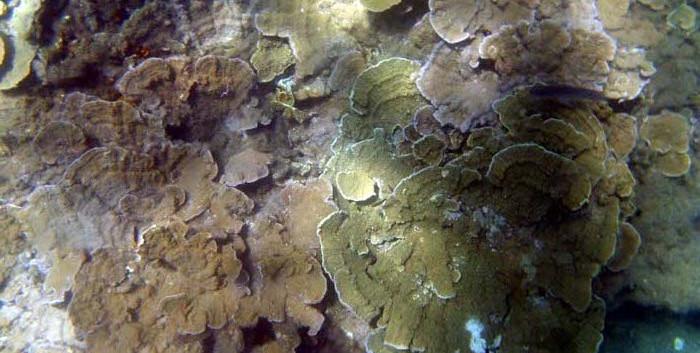 Lettuce Coral, (Montipora).