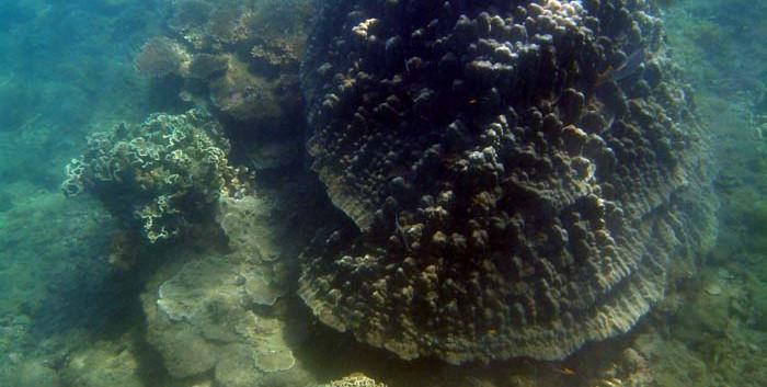 Bolder Coral (Porites)