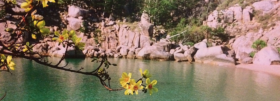 Kapok flowers in the dry season.
