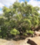 Jetty Rd mangrove.jpeg