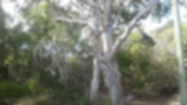 Paperbarks_Bush.jpg