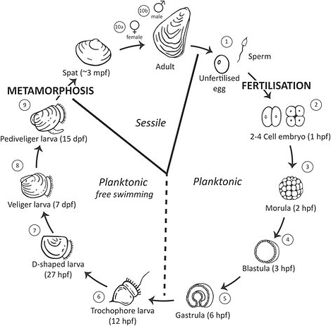 Oyster_life_cycle.png