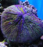 2560px-Fungiafungites.jpg