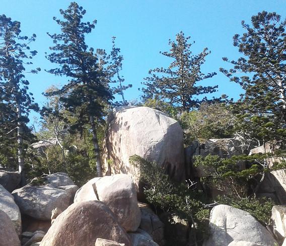 Hoop Pines and granite boulders.
