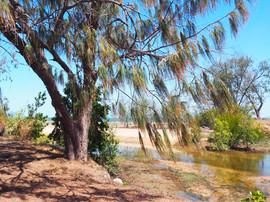 Casuarina and mangrove.jpg