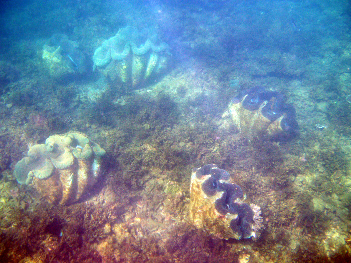 Giant Clams at Nelly Bay