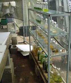 Microalgae culture in cage