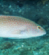 PlectropomMaculatusMarkRosenstein.jpg