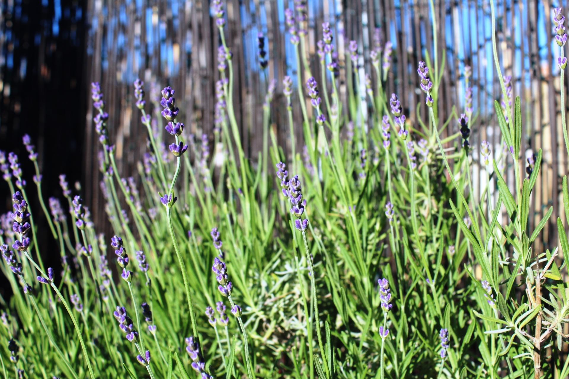 rooftop_lavendar