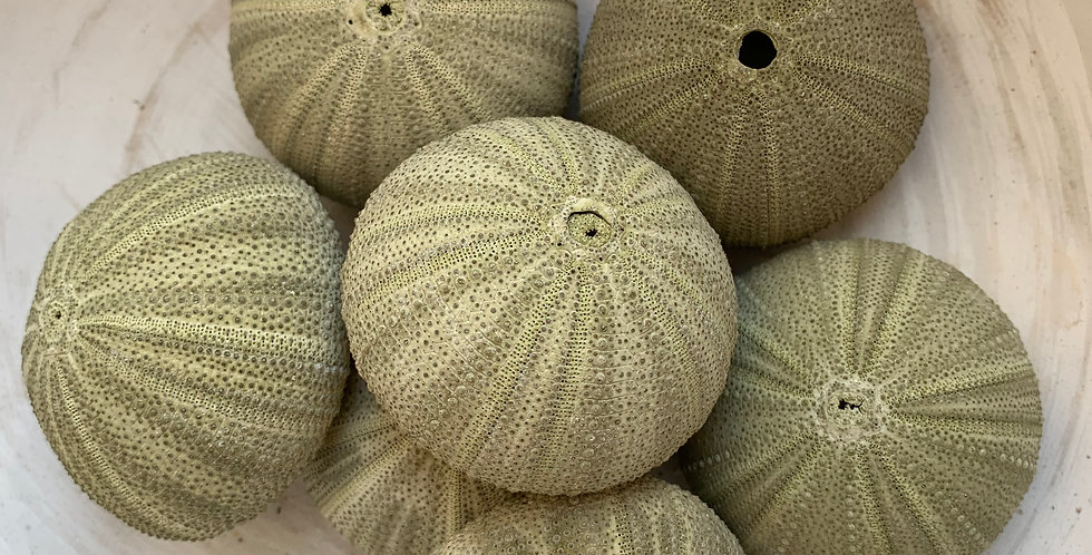 SET OF NATURAL GREEN URCHINS