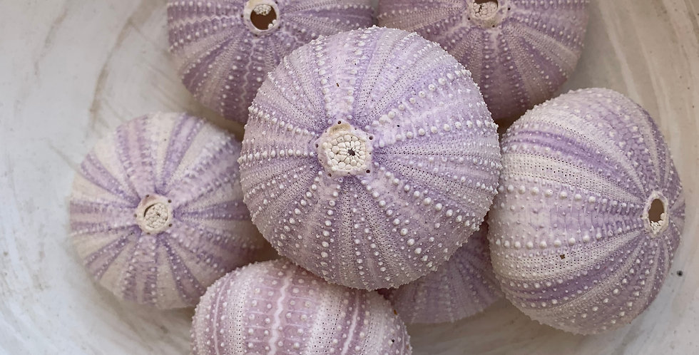 SET OF NATURAL PURPLE URCHINS