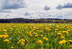 Field of Dandelions - 24th April 2019 -