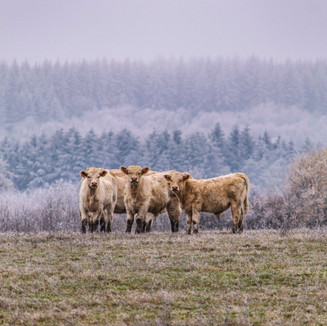 Cows in winter, France
