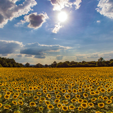 Sunflowers, France