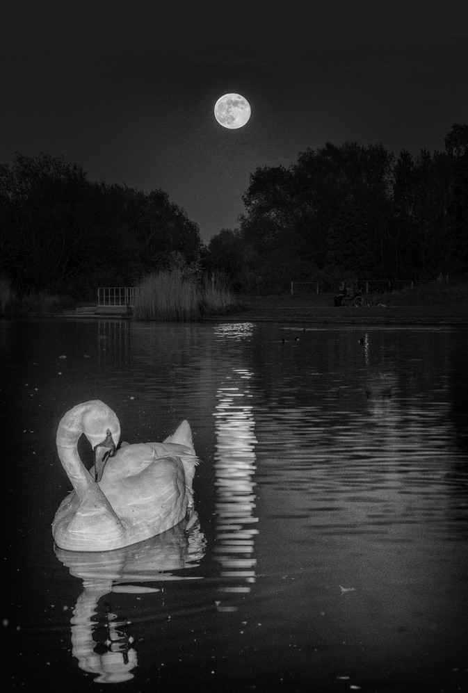 """1st Place - """"Swan and the Flower Moon"""" by Alan Errington"""