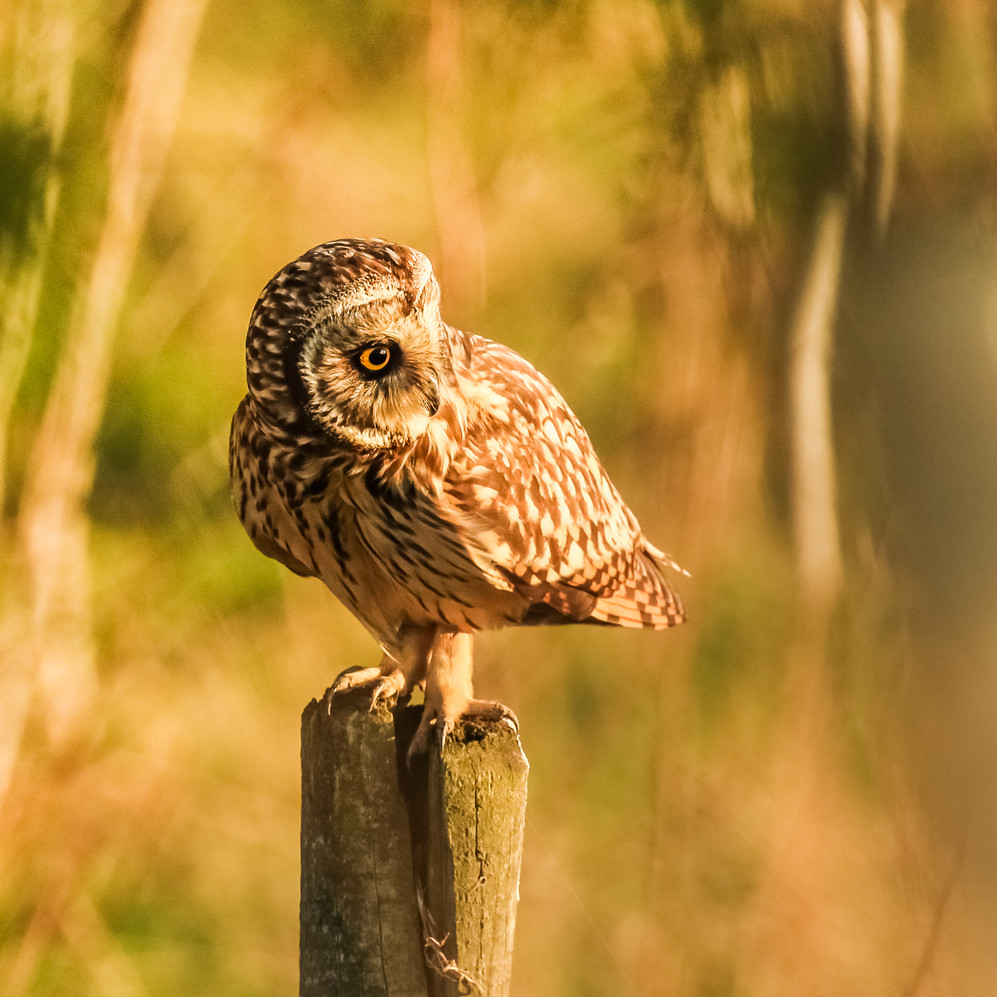 "Highly Commended - ""Wild Short Eared Owl"" by Ron Bowe"