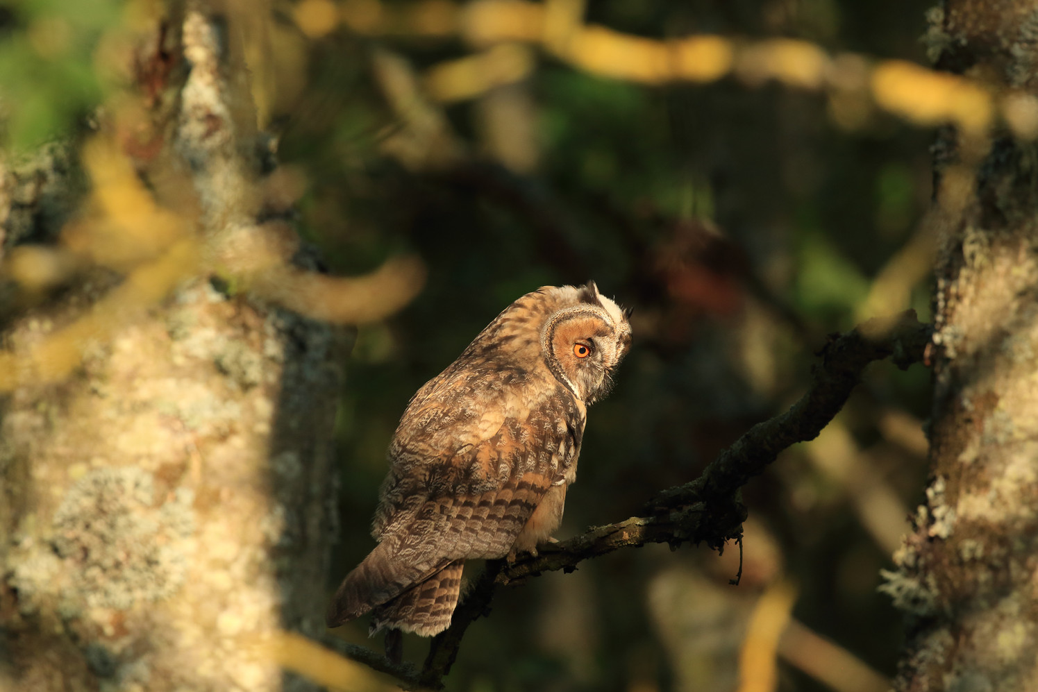 """2nd place - """"Juvenile Long Eared Owl"""" by Ron Bowe"""