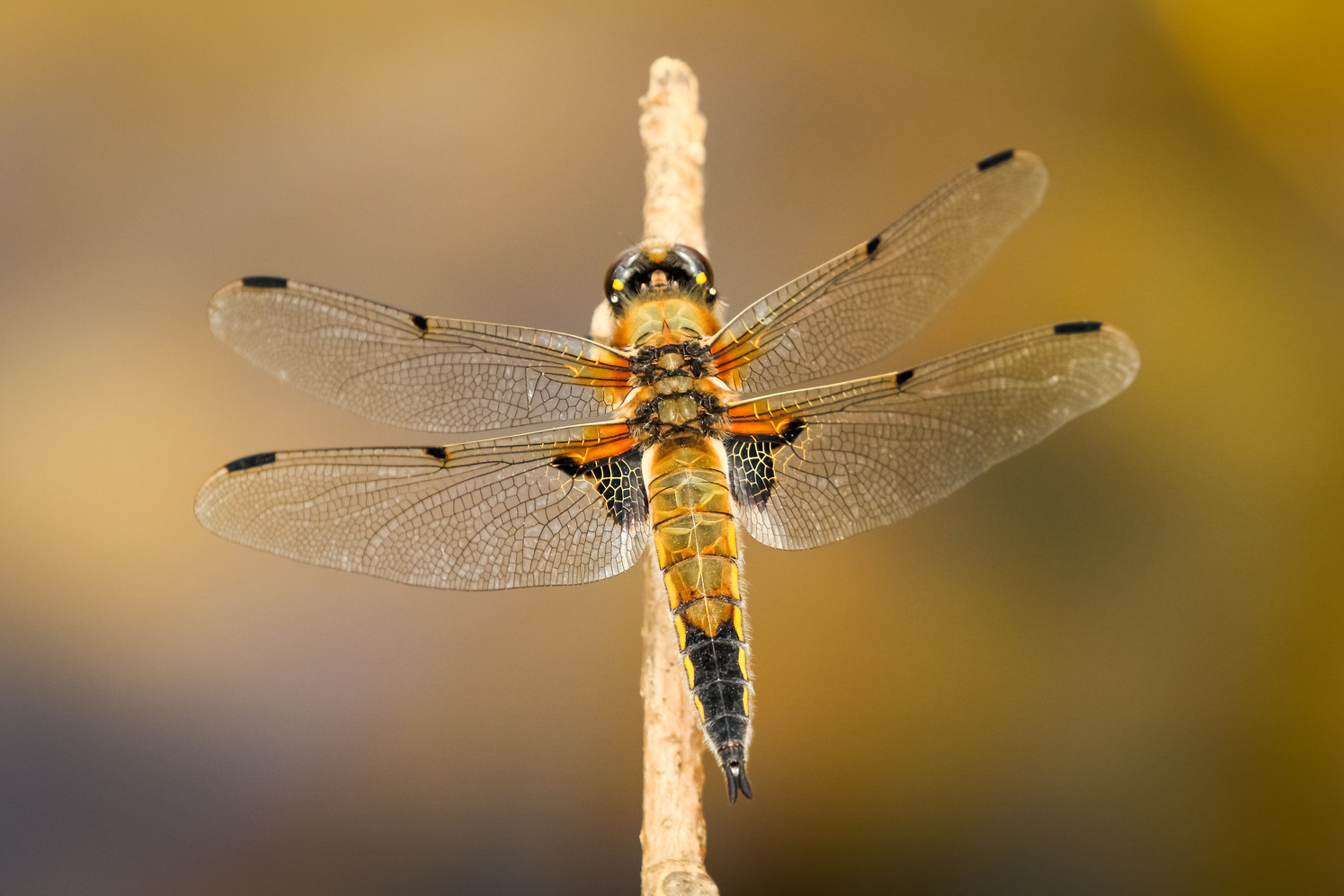 1st Place - Four Spotted Chaser Dragonfly by Ron Bowe