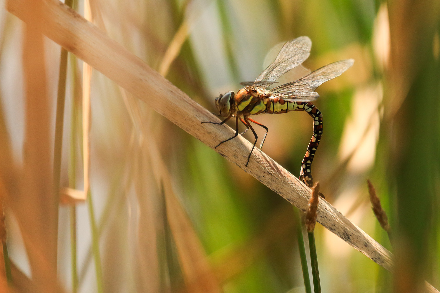"Highly Commended - ""Female Migrant Hawker Dragon Fly Oviposting"" by Ron Bowe"