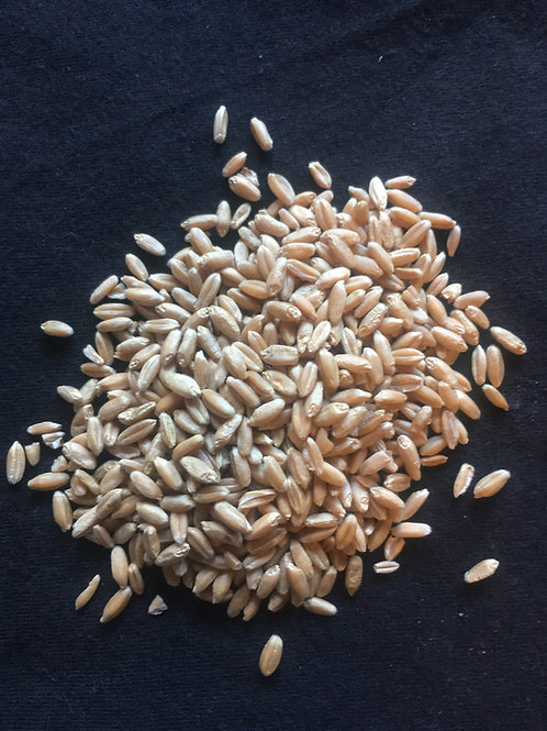 Colorado Scout 66 Heirloom Hard Red Winter Wheat Berries