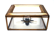 Chinese Stagg Beetle