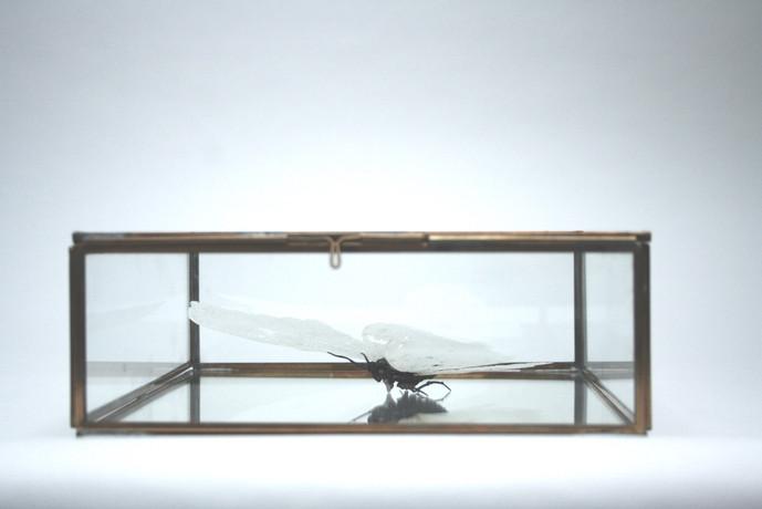 North American Atlas Moth