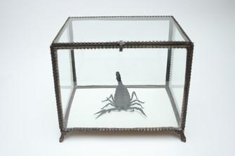 Middle Eastern Deathstalker Scorpion