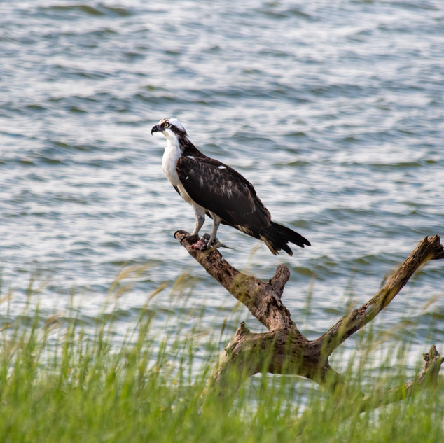 bird - Osprey - GSS_3516.jpg