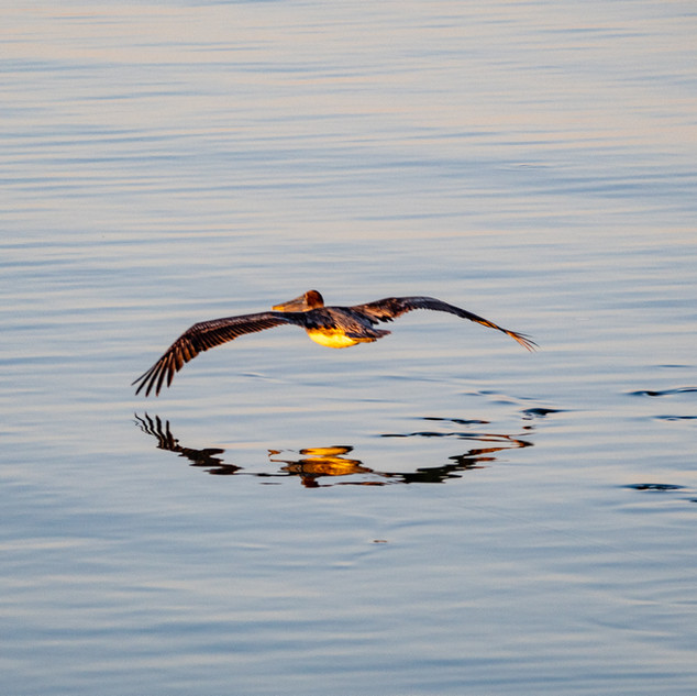 bird - Pelican flying low from balcony A