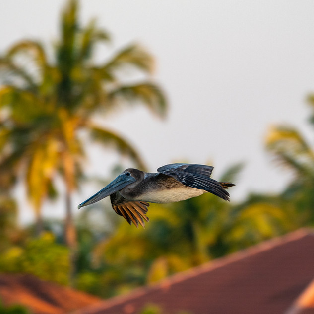 bird - pelican in flight from balcony Ap