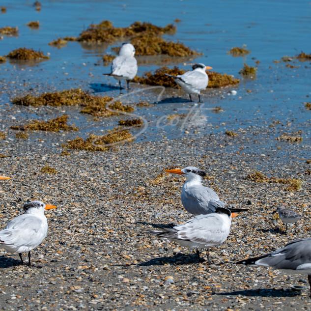 birds - on beach CC DSC_3068 wtr small.j