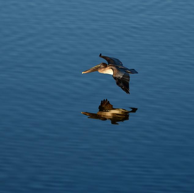 bird - brown pelican our balcony DSC_407