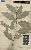 Maytenus ilicifolia Mart.ex Reissek e Maytenus aquifolia Mart.